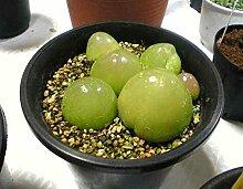100pcs Echt selten saftig Samen, Pseudotruncatella lebende Gestein lithops Innen-Samen Pflanze Staude Angiospermen Pflanzen blühen 1