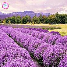 100pcs Französisch Lavendel sät Schöne Blumensamen stark duftend Natur Wachstum Hof ??Pflanze