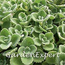 100pcs Grün Cuban Oregano Seeds Mexican Thymian Indian Borretschsamen Spanisch Thymian Staude Pflanze Gartenbonsai