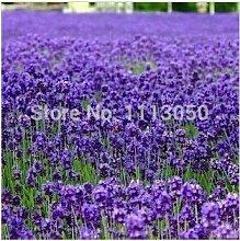 100pcs Lavendel sät Kraut Samen Garten Balkon Topf Vier Jahreszeiten Blumensamen