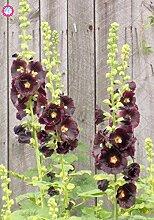100Pcs Malve Seeds (Alcea rosea 'Nigra') Mischfarben-Blumensamen Staude für Garten-Ausgangs Beautifying Dekoration 2