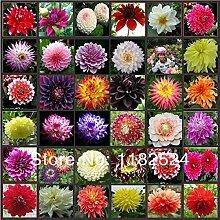 100pcs mehrfarbige Dahlie Samen Bonsai Blume