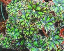 100pcs Mix Coleus Blumei Samen seltene