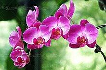 100pcs / pack Riese Phalaenopsis-Orchidee Samen Bonsai Entzückende Schmetterling Orchid Blumensamen Himmel blau Pflanze Gartenpflanzen 3