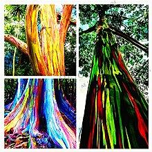 100pcs/pack seltene Regenbogen-Eukalyptus-Samen,