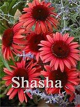 100Pcs Rare Farbe Echinacea Purpurea Bonsai, Mix