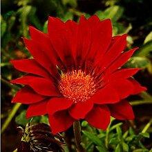100pcs Regenbogen Chrysantheme Samen Bonsai Blumensamen Topfpflanze Staude Blumen für zu Hause Garten MultiColored