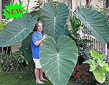 100PCS Riesenelefantenohr Pflanze, Frische