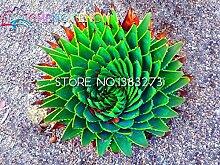 100pcs Seltene Aloe Samen Staude Gras Bonsai Heim & Garten