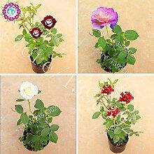 100PCS Seltene Bonsai Blumensamen Chinese Rose