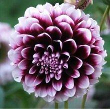 100pcs Seltene weiße Red Dahlia Seeds 2015 Charming Chinese Blumensamen Bonsaipflanzen für Garten Freies Verschiffen 9