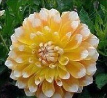 100pcs Seltene weiße Red Dahlia Seeds 2015 Charming Chinese Blumensamen Bonsaipflanzen für Garten Freies Verschiffen 5
