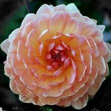 100pcs Seltene weiße Red Dahlia Seeds 2015 Charming Chinese Blumensamen Bonsaipflanzen für Garten Freies Verschiffen 8