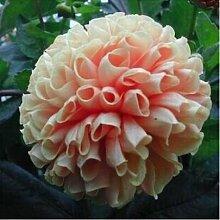 100pcs Seltene weiße Red Dahlia Seeds 2015 Charming Chinese Blumensamen Bonsaipflanzen für Garten Freies Verschiffen 2