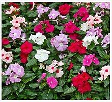100pcs Singrüns schöne Blumensamen Bonsai Samen Zierpflanze für zu Hause Gartengabe Hof Kostenloser Versand Einpflanzen 4