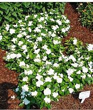 100pcs Singrüns schöne Blumensamen Bonsai Samen