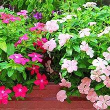 100pcs Singrüns schöne Blumensamen Bonsai Samen Zierpflanze für zu Hause Gartengabe Hof Kostenloser Versand Einpflanzen 3