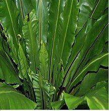 100x Asplenium nidus Kübelpflanze Vogelnestfarn