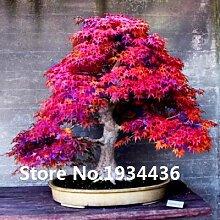 10kinds Ahornsamen Bonsai-Baum-Pflanzen Topfgarten
