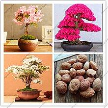 10pcs echte japanische Sakura-Samen,