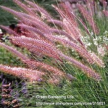 10pcs Fountain Grass Seeds Pennisetum ruppelii Weide Pflanze Ornament Grass Seeds P. setaceum