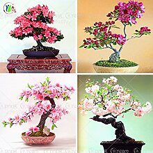 10pcs / lot japanische Sakura-Samen, Bonsai Blume Kirschblüten Zierpflanze