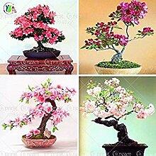 10pcs / lot japanische Sakura-Samen, Bonsai Blume