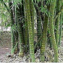 10x Bambusa tuldoides indischer Holz bambus Garten