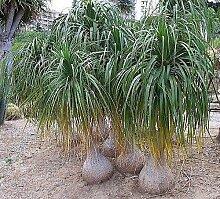 10x Beaucarnea recurvata Elefantenfuß Garten