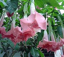 10x Brugmansia Pink Delight Engelstrompete Samen