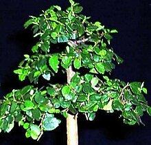 10x Celtis africana Bonsai-Baum Kübelpflanze