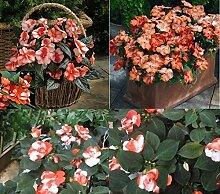 10x F1 Busy Lizzie Circus Orange Weiss Blumen Lieschen Garten Neu Saatgut Samen Blume #380