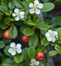 10x Kriechmispel Frieders Evergreen 15-20cm -