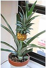 10x Mini Ananas Ananas Comosus Zwergananas
