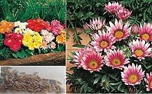 10x Riesen gerbera Daisy Gorgeous Samen bunt Garten Blumen Pflanze Saatgut Blumensamen #365