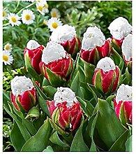10x Tulpen Ice Cream Saatgut Samen Garten