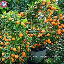 11.11 Große Förderung! 20pcs / lot Riesen-orange Samen orange Tangerine Baum Früchte Samen in den Garten und zu Hause aweet Bio-Kräuter Pflanze vergossen