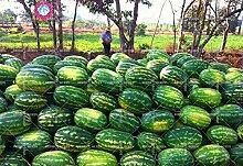 11.11 Große Förderung! 30 PC / Los riesige Wassermelone Samt Saft Obstbaum Samt grüne Gärten & Heim aweet ausdauernde Bio-Kräuter-Pflanze