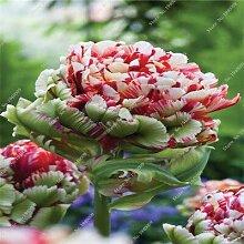 12: 1 Stücke Echte Tulpe Tulpen, Nicht Tulpe