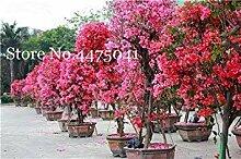 . 120 Stück Regenbogen Bougainvillea, Pflanzen
