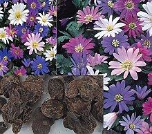 12x Riesen Anemone Blanda Mix Pflanze Blumen Mix bunt Garten Samen Mehrjährig Neu Groß R44