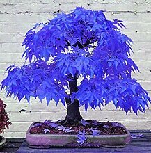 13: 20 Stücke Seltene Blau Ahorn Samen Bonsai