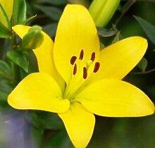 14: 50 Teile/paket Pflanzen Topf Lilie Blumensamen