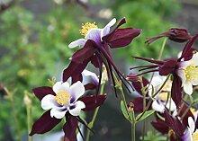 15 Aquilegia Louisiana Samen, Akelei Pflanze,