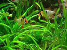 15 barschfeste Pflanzen + Dünger + Aufbereiter, Aquariumpflanzen, Wasserpflanzen