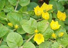 15 Bunde grünes Pfennigkraut, Lysimachia nummularia, Teich