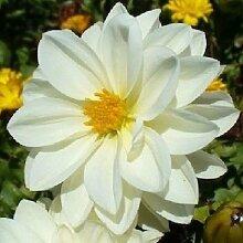15+ Dahlia Pure White/Blumensamen