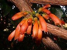 15 Samen | Halleria lucida | Baumfuchsie | Sehr