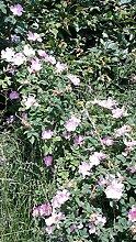 15 Stück Hundsrose ( Rosa canina) Wurzelware, 2-3