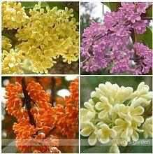 15 Stücke Hof Duftenden Blumensamen, mehrjährige